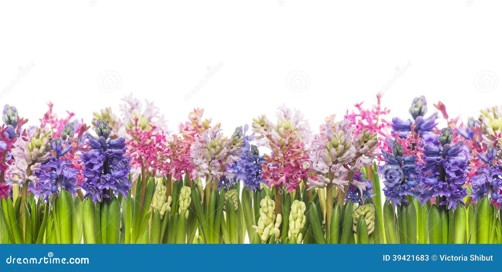 Гиацинты цветут зацветать весной, изолированное знамя,