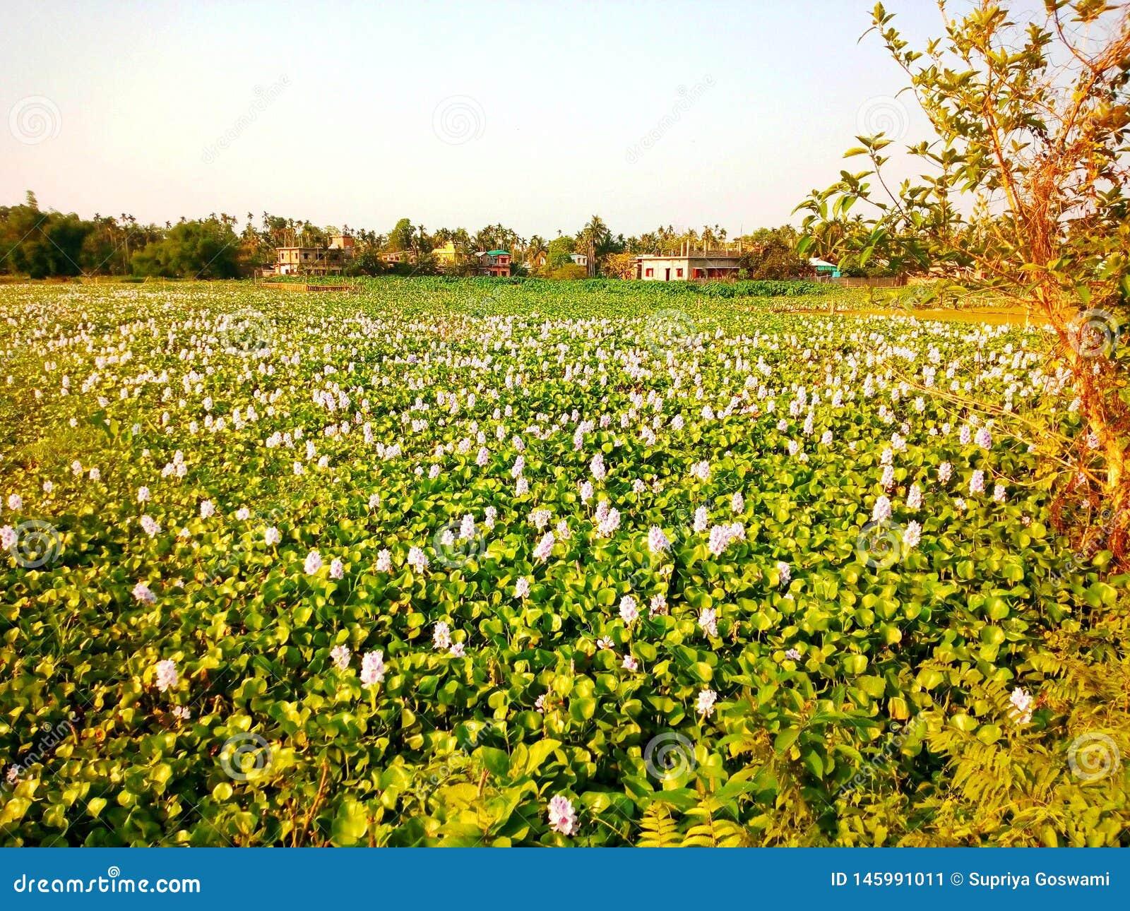 Гиацинт воды в пруде с белыми цветками каннелюры