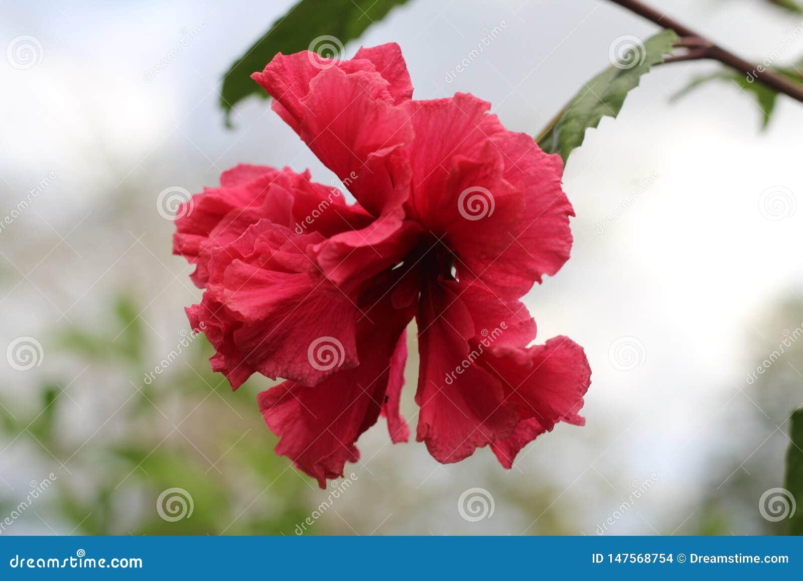 Гибискус в цветени