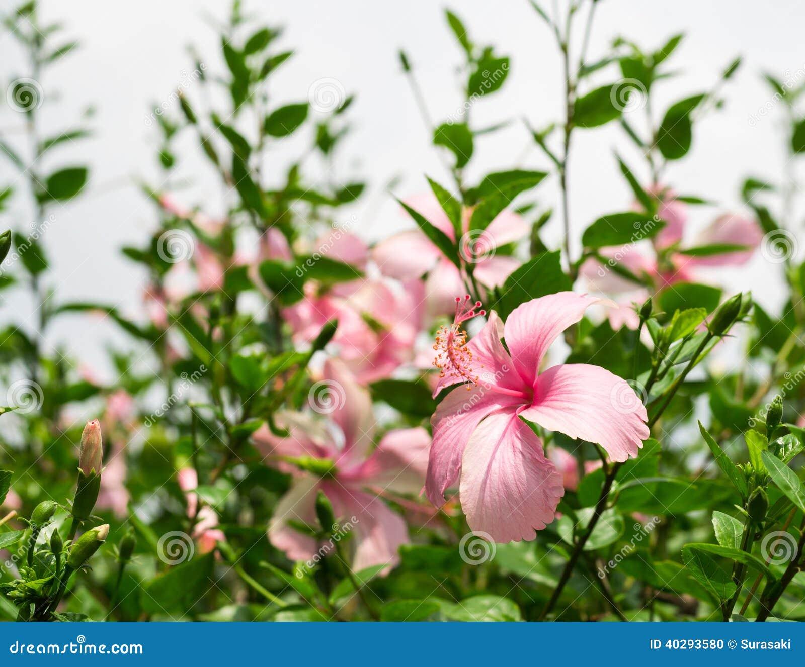 Гибискус или цветок китайца розовый