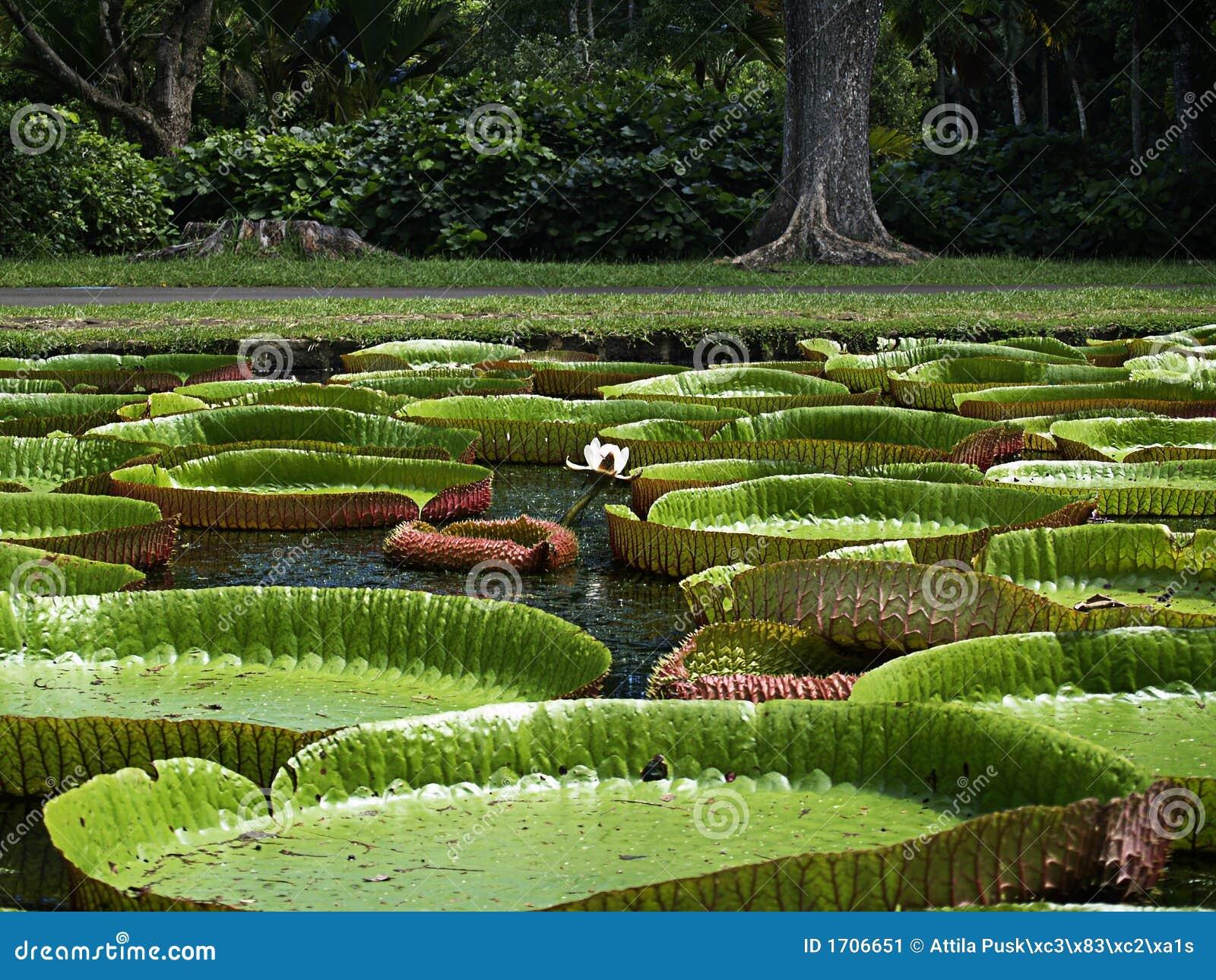 гигантская вода лилии