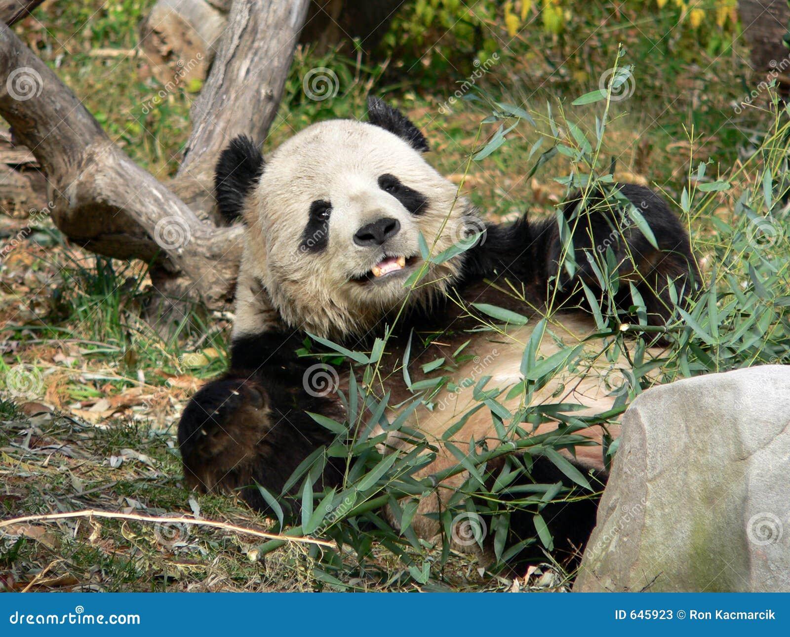 Download гигантская мыжская панда стоковое изображение. изображение насчитывающей съешьте - 645923