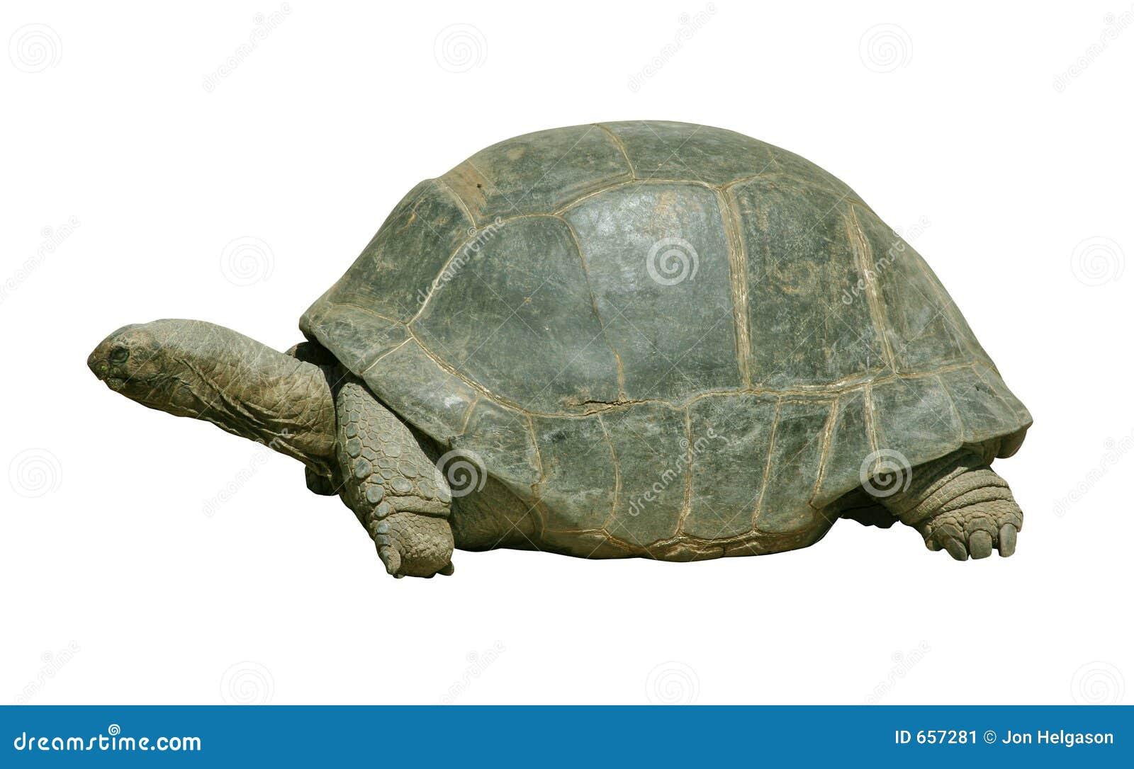гигантская черепаха путя