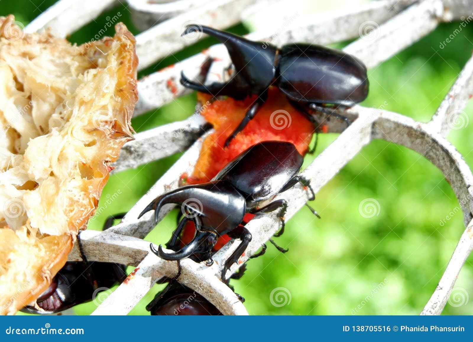 Гигантские жуки носорога Dynastinae