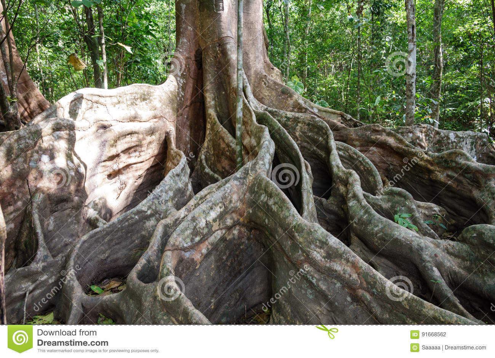 Гигантское дерево с подстенком укореняет в лесе, Коста-Рика