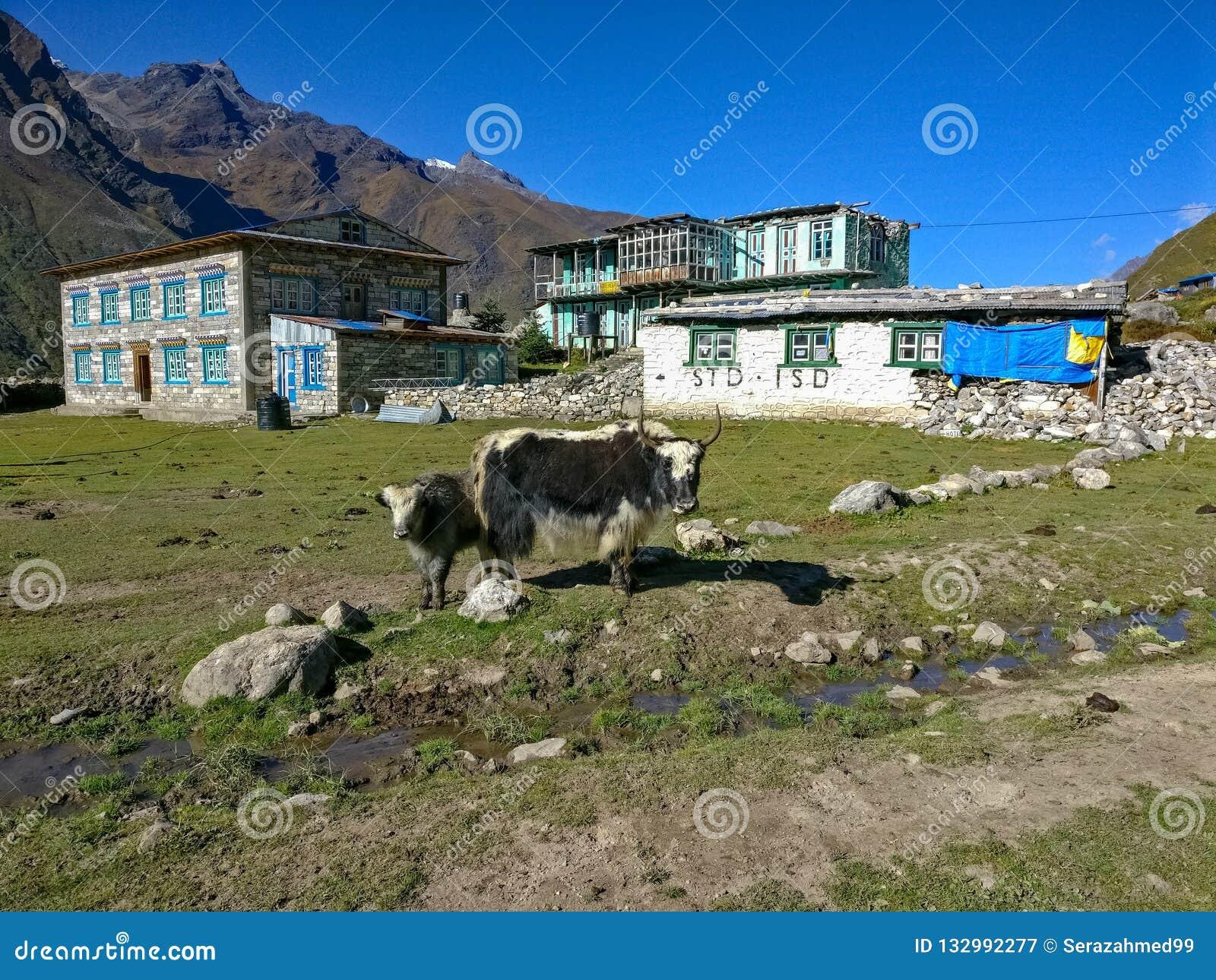 Гималайские яки