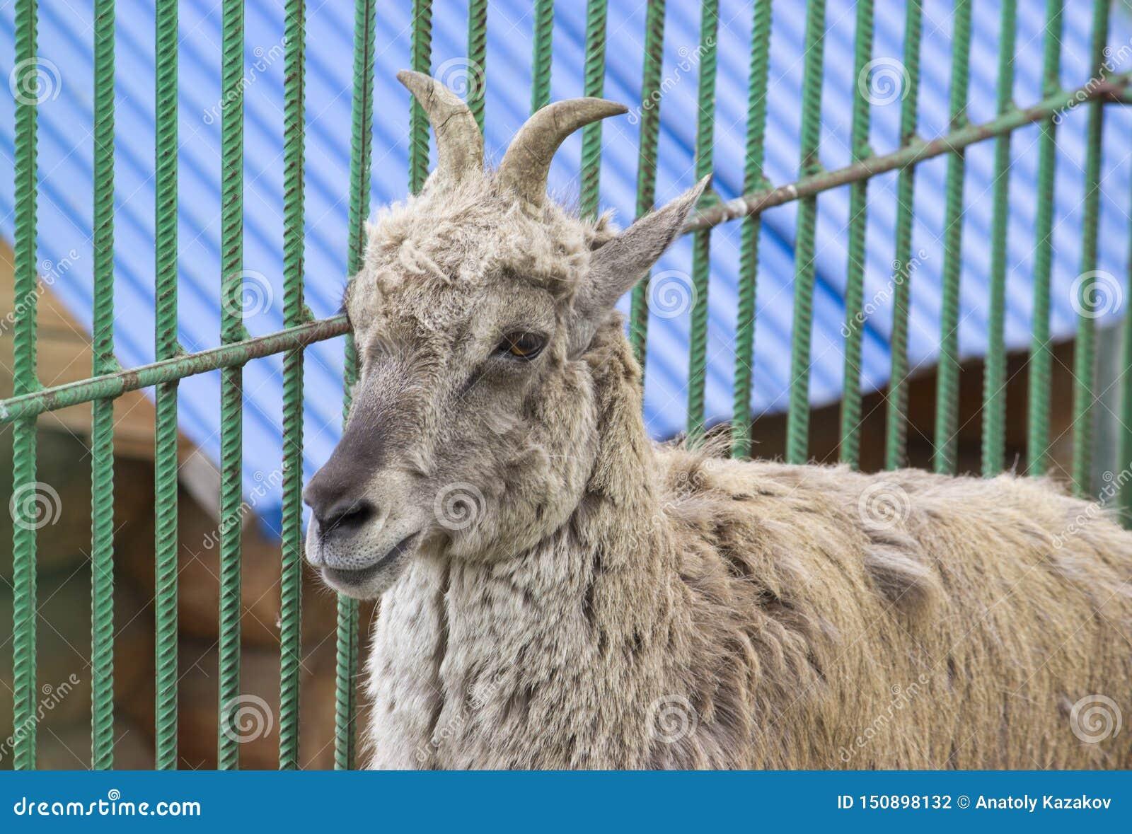 Гималайское голубое nayaur Pseudois овец, также известное как Nahur
