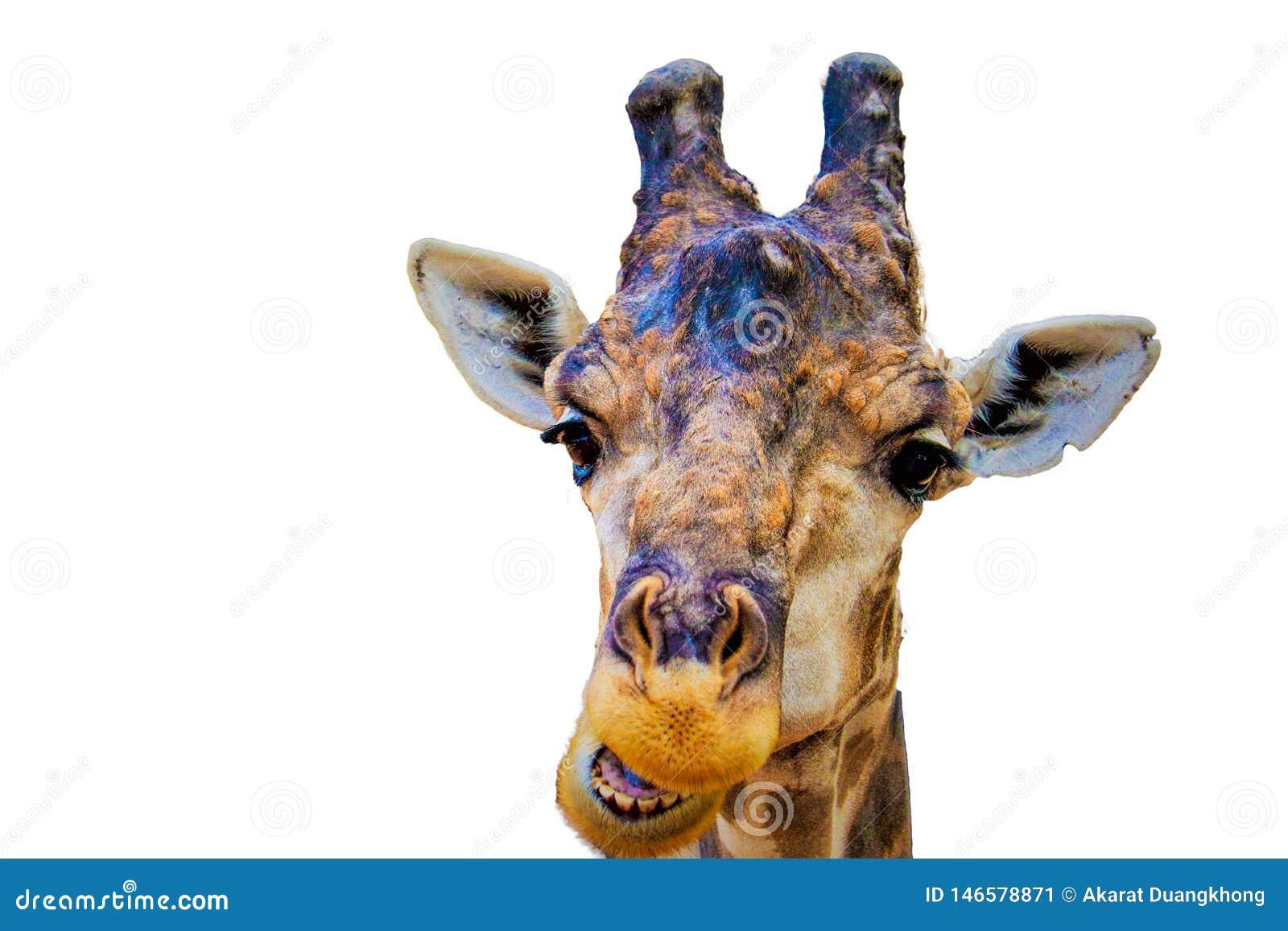 Главный изолированный giraffa