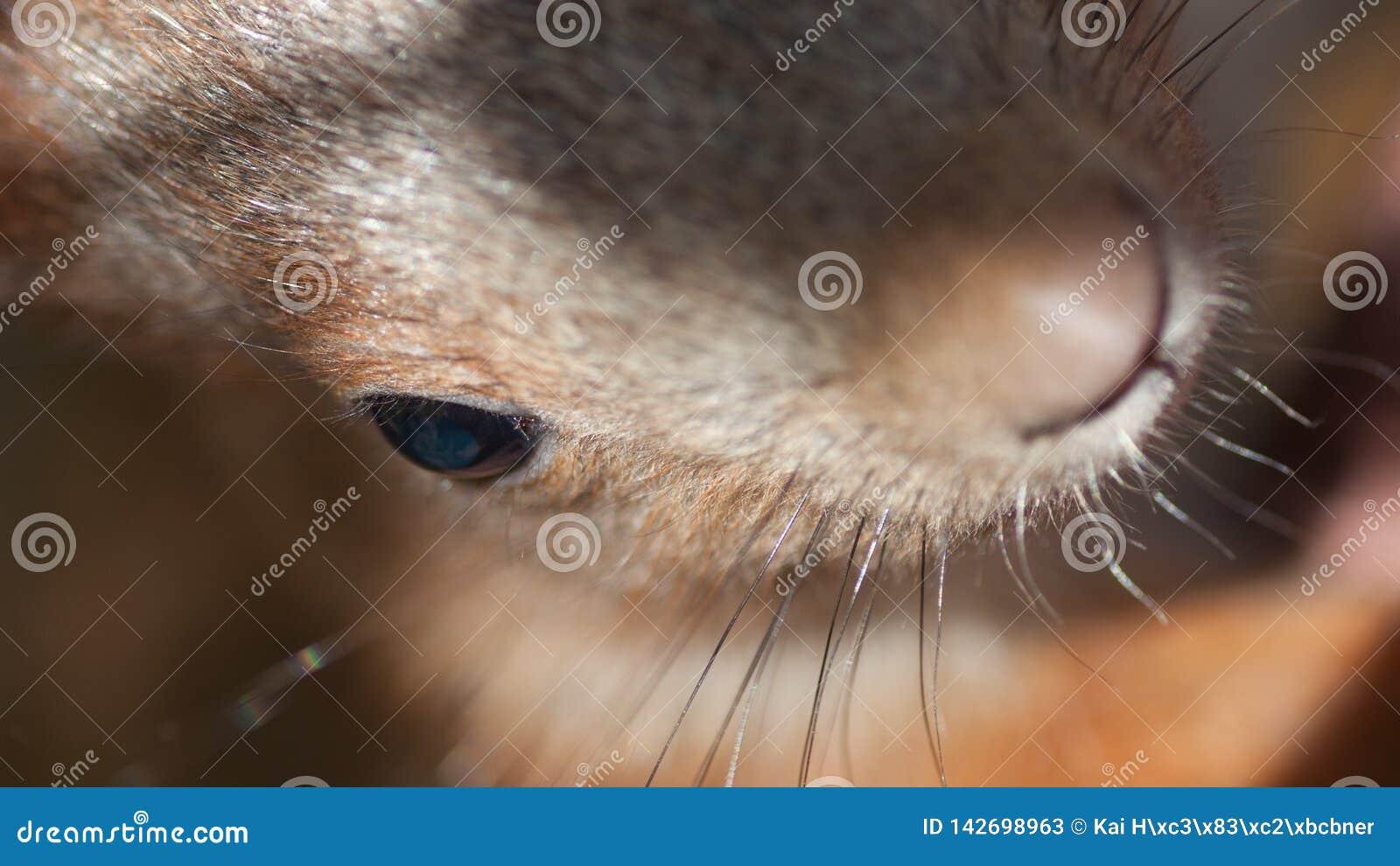 Глаз красной белки с волосами носа