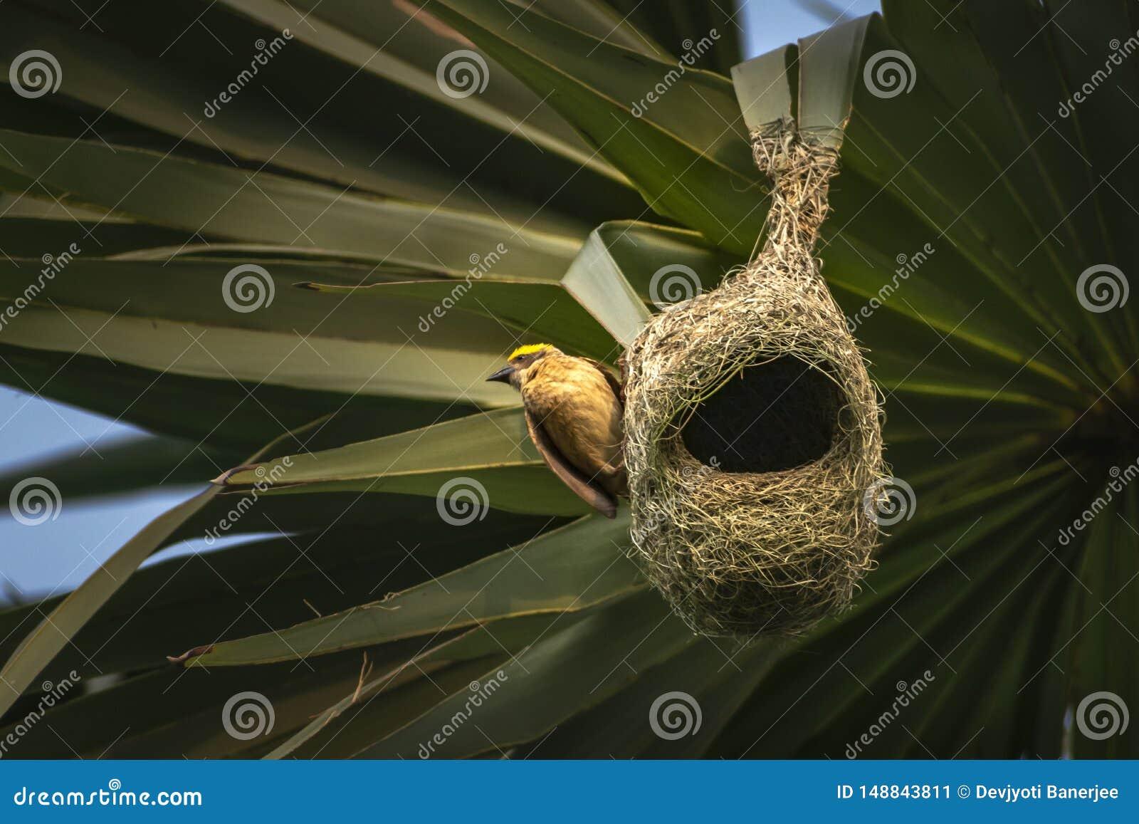Гнезда колонии ткача baya приостанавливанной от пальмы, Индии