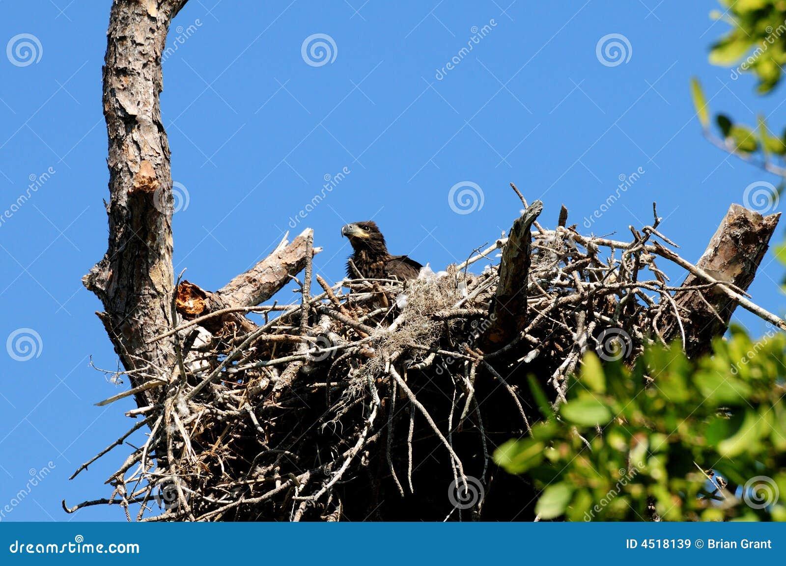 гнездй орла младенца