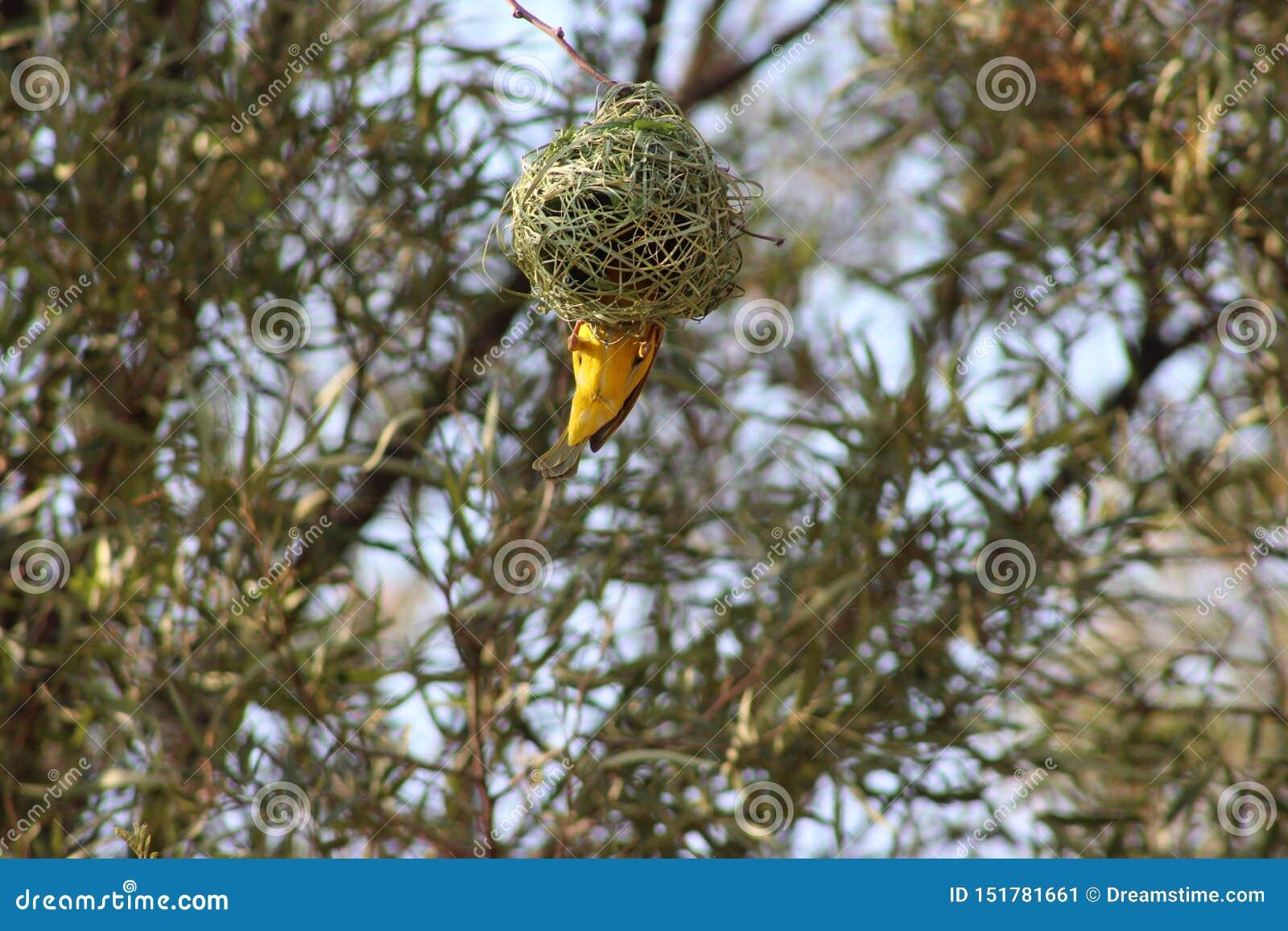 Гнездо птицы захваченное в Намибии