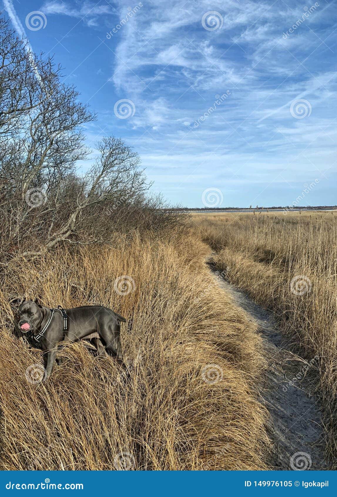 Годовалый mastiff corso тросточки 4 в сухом злаковике