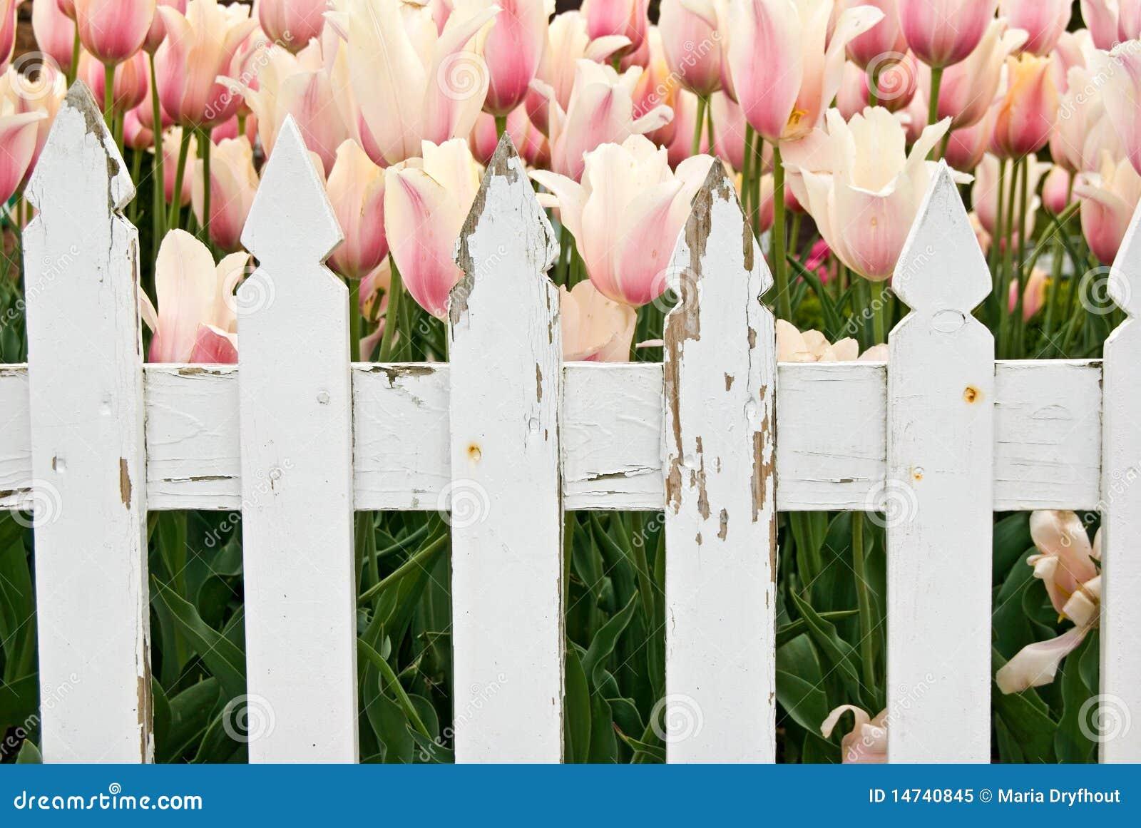 голландский тюльпан сада