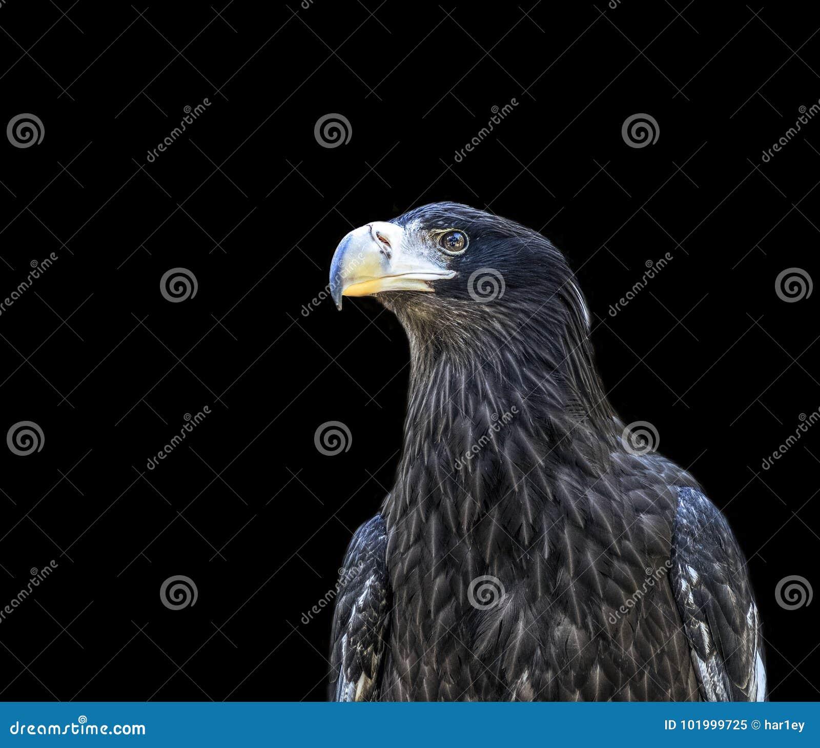 Голова птицы беркута на белой предпосылке