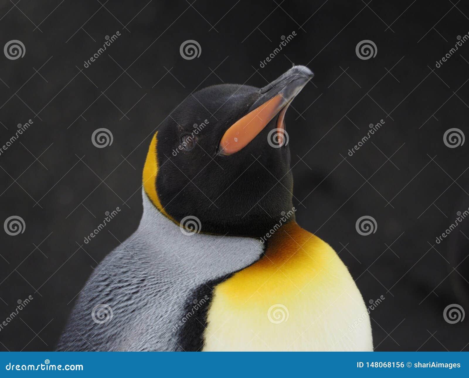 Голова сняла одиночного пингвина императора