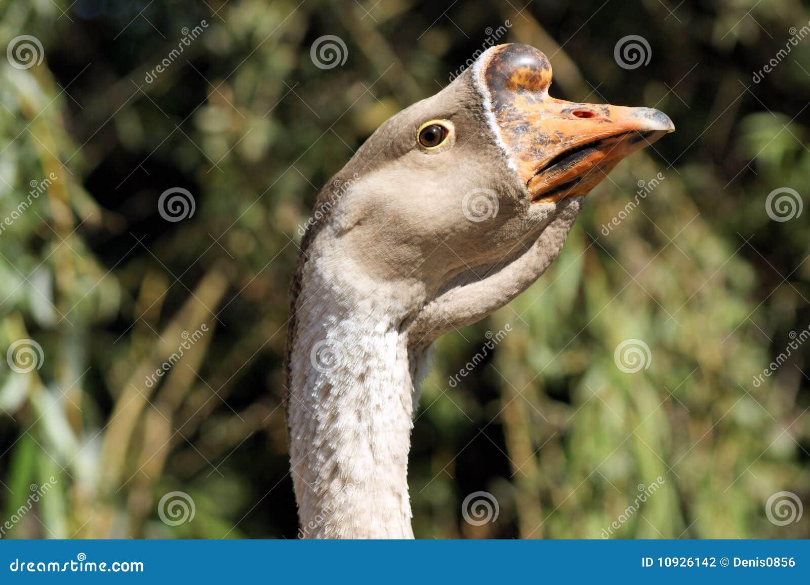 головка утки