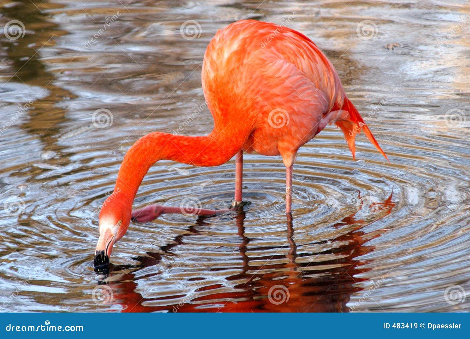 головка фламингоа свой царапать