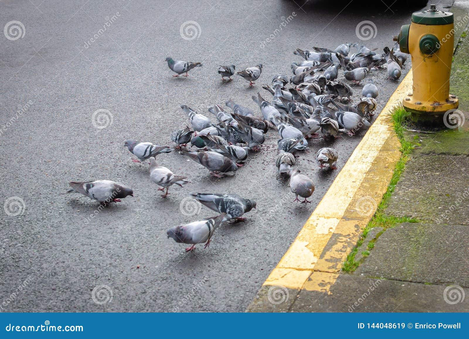 Голодные дикие голуби питаясь на дороге