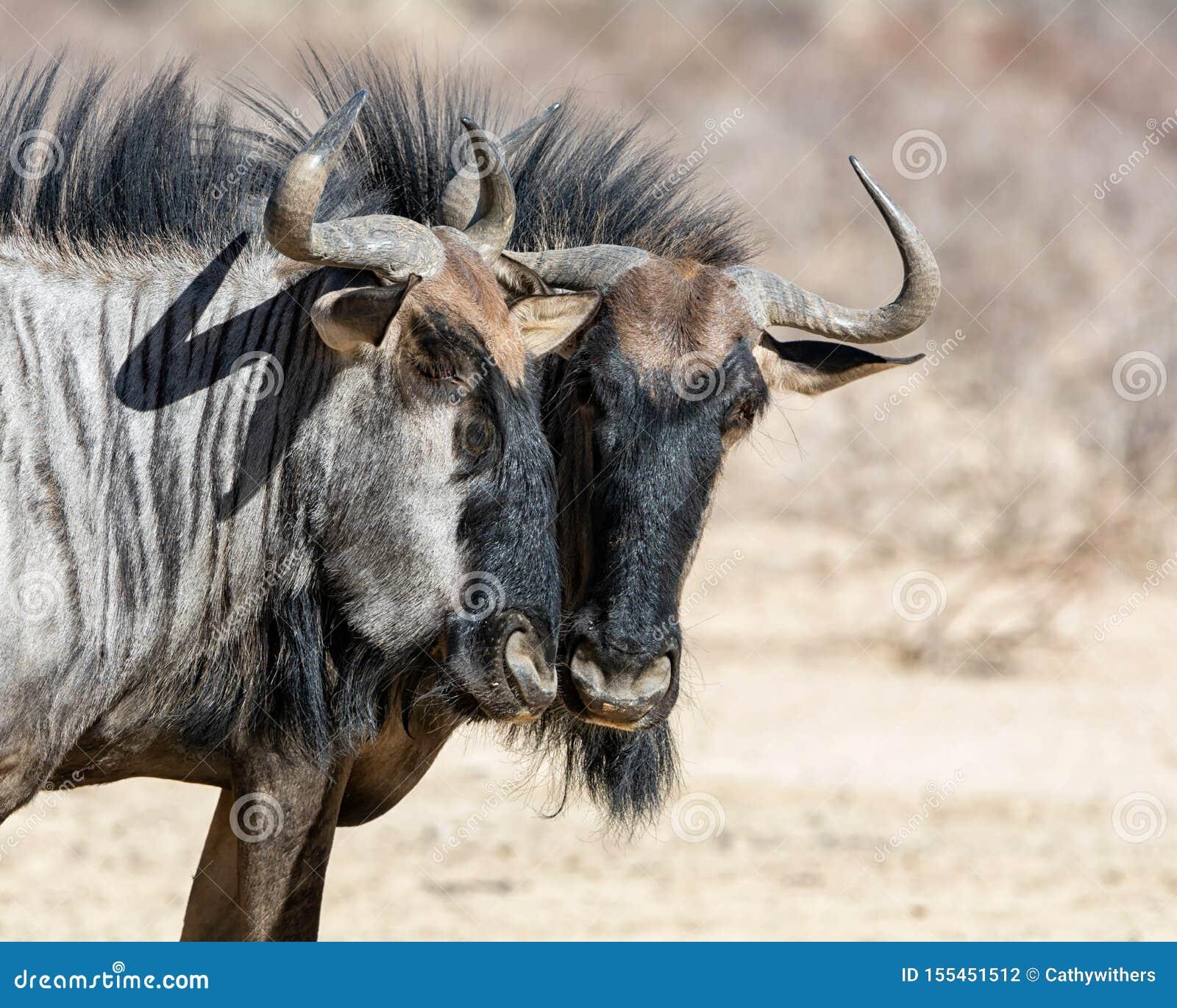 Голубая антилопа гну