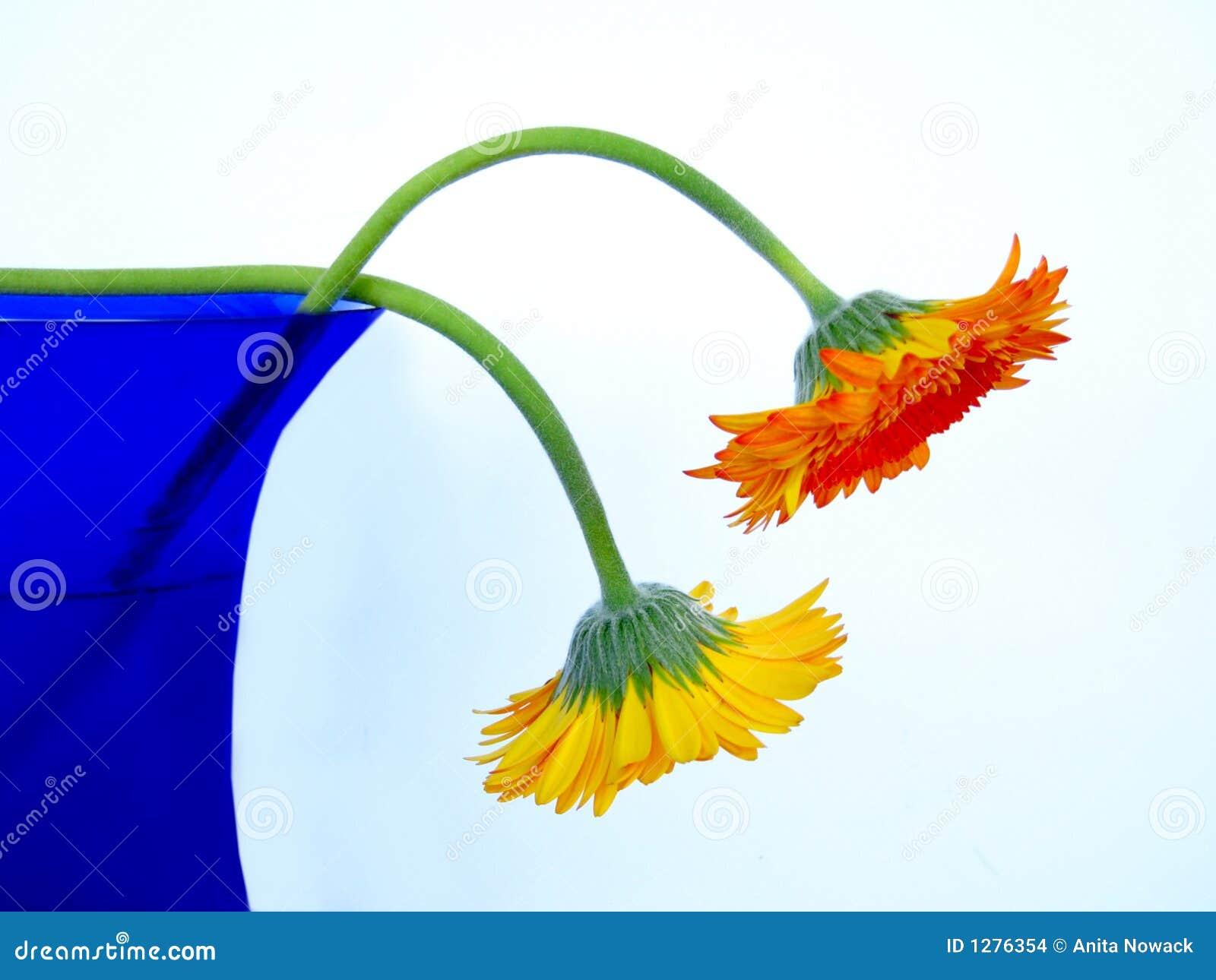 голубая ваза gerbers