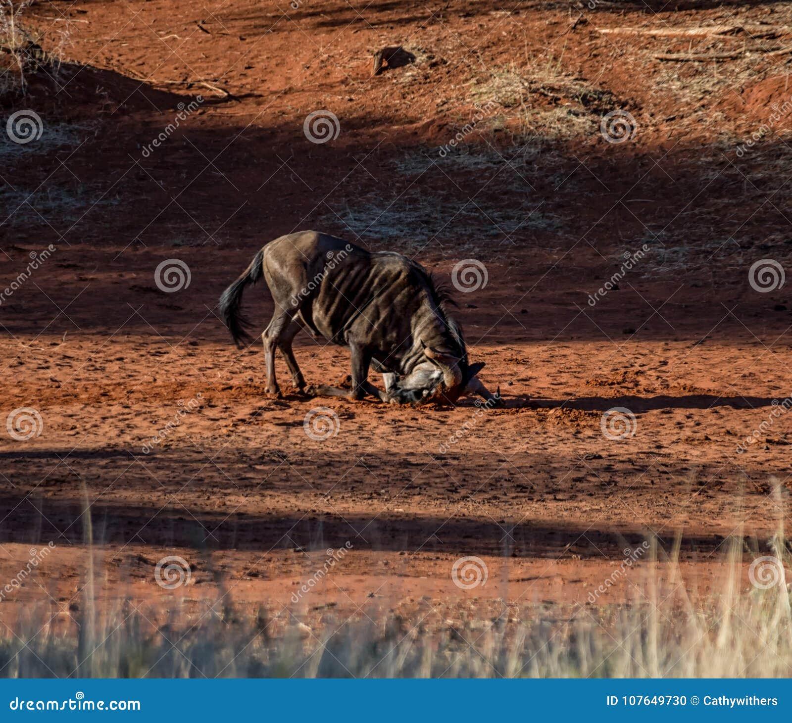 Голубая ванна пыли антилопы гну