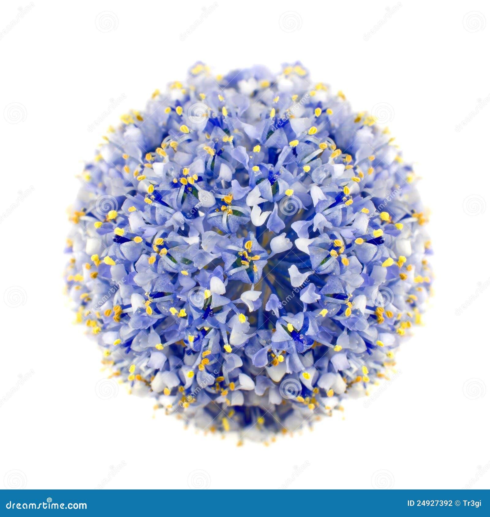голубая изолированная california белизна shrub сирени