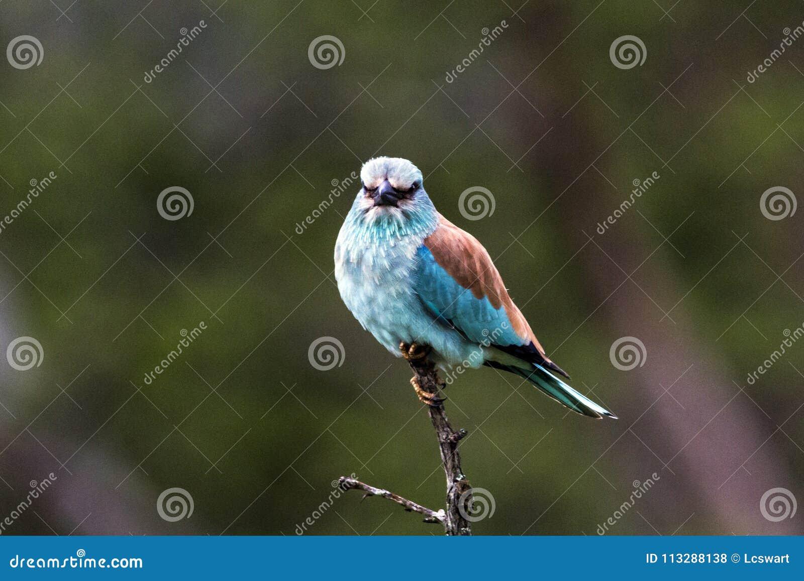 Голубая красочная птица европейского ролика садить на насест на ветви