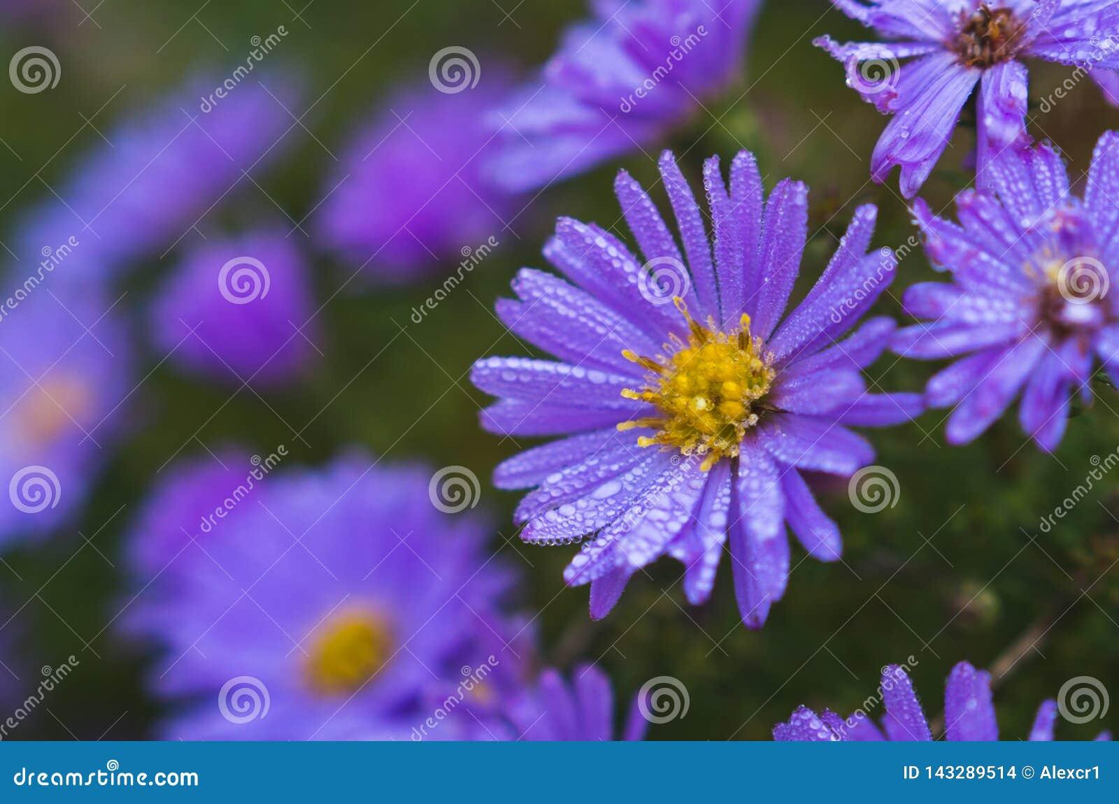 Голубая маргаритка с падениями росы