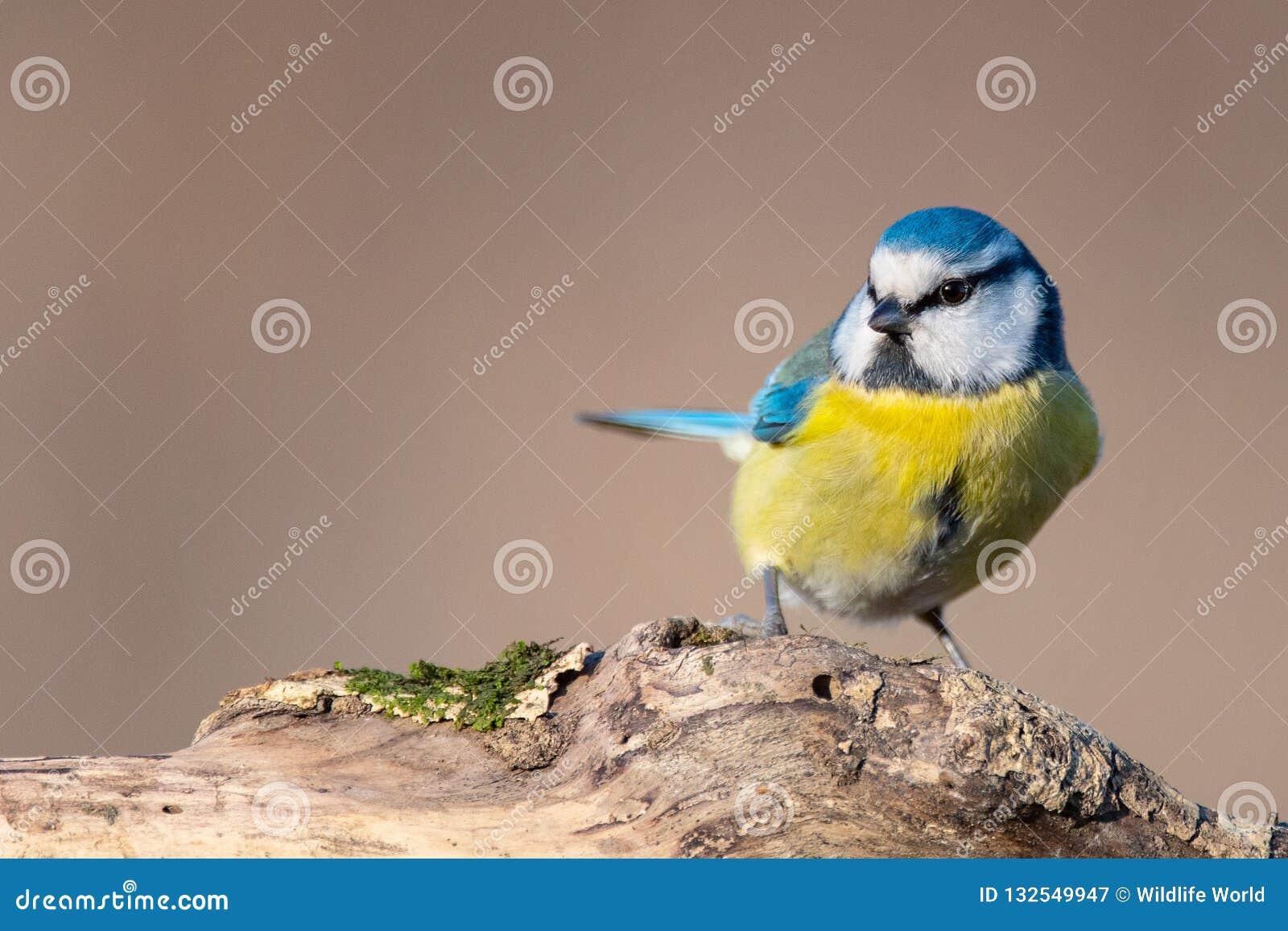 Голубая синица, caeruleus Cyanistes, сидя на пне
