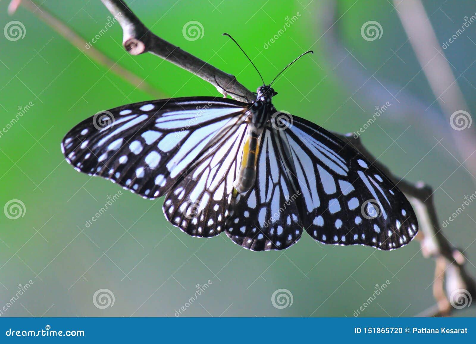 Голубая стекловидная бабочка тигра