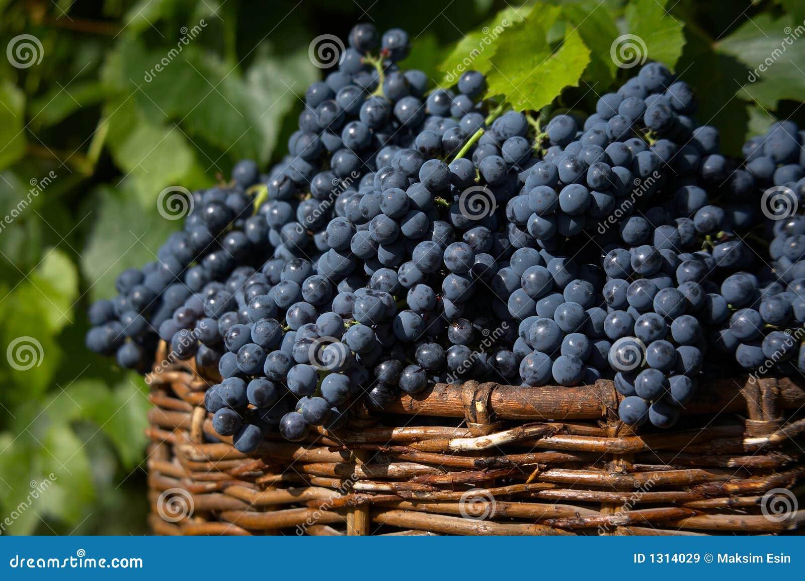 голубая хлебоуборка виноградины