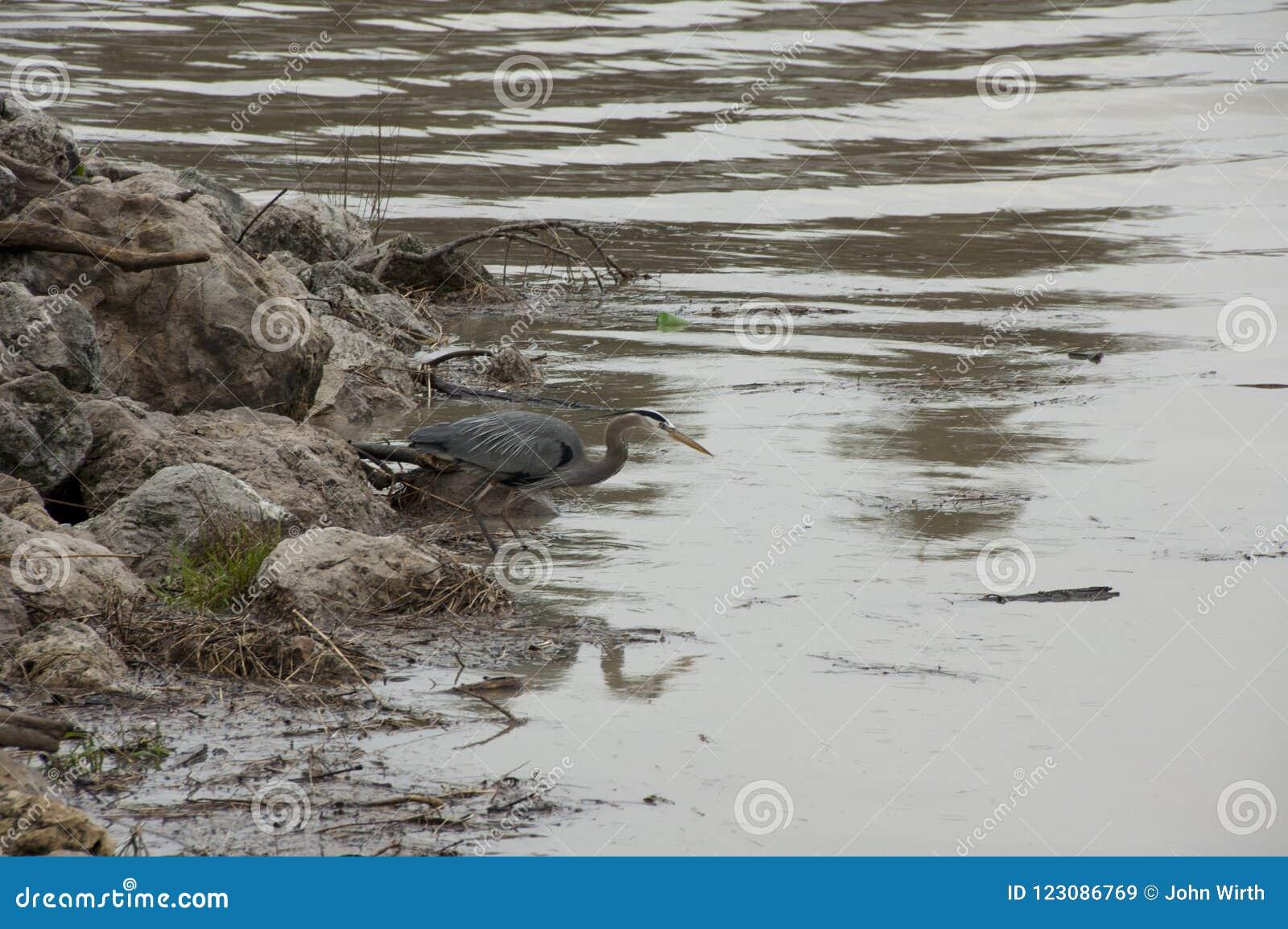 Голубая цапля ждать на береге
