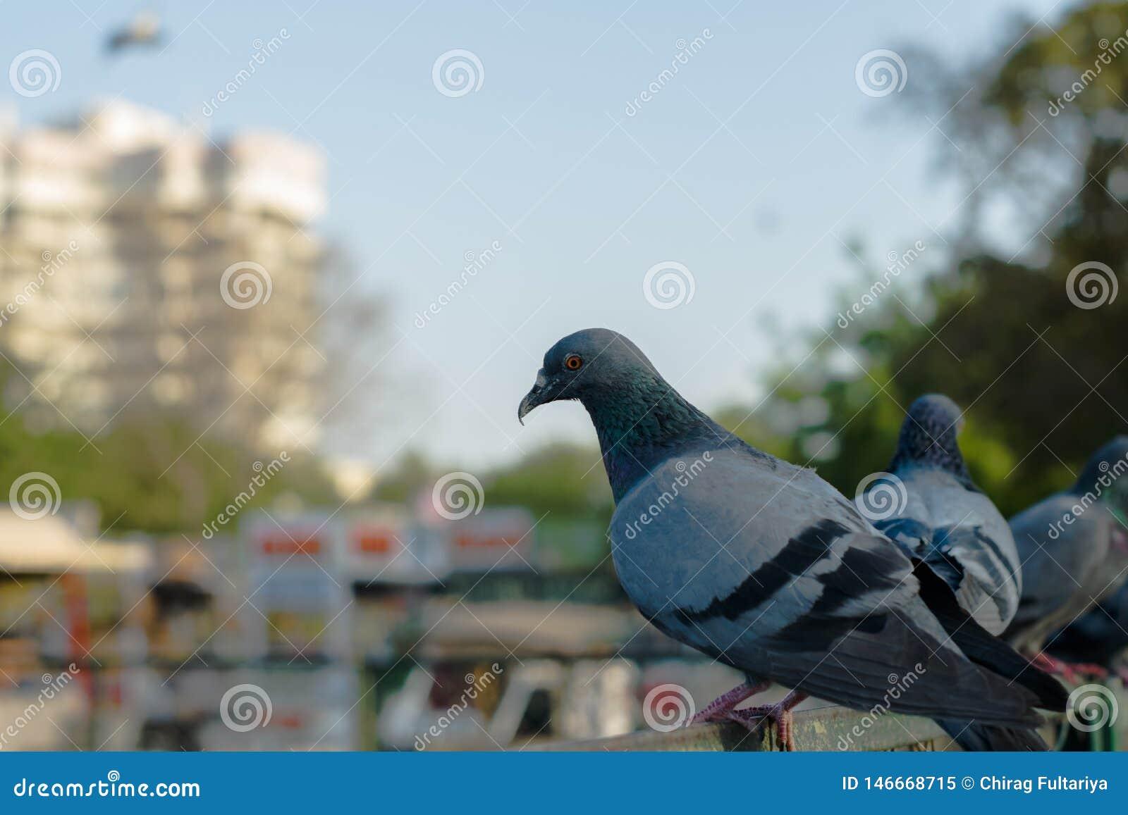 Голуби и голуби