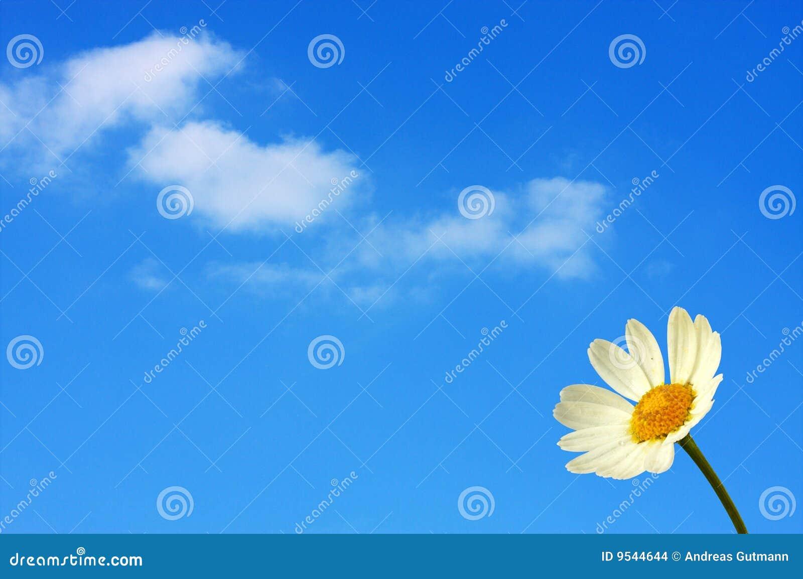 голубое переднее небо marguerite