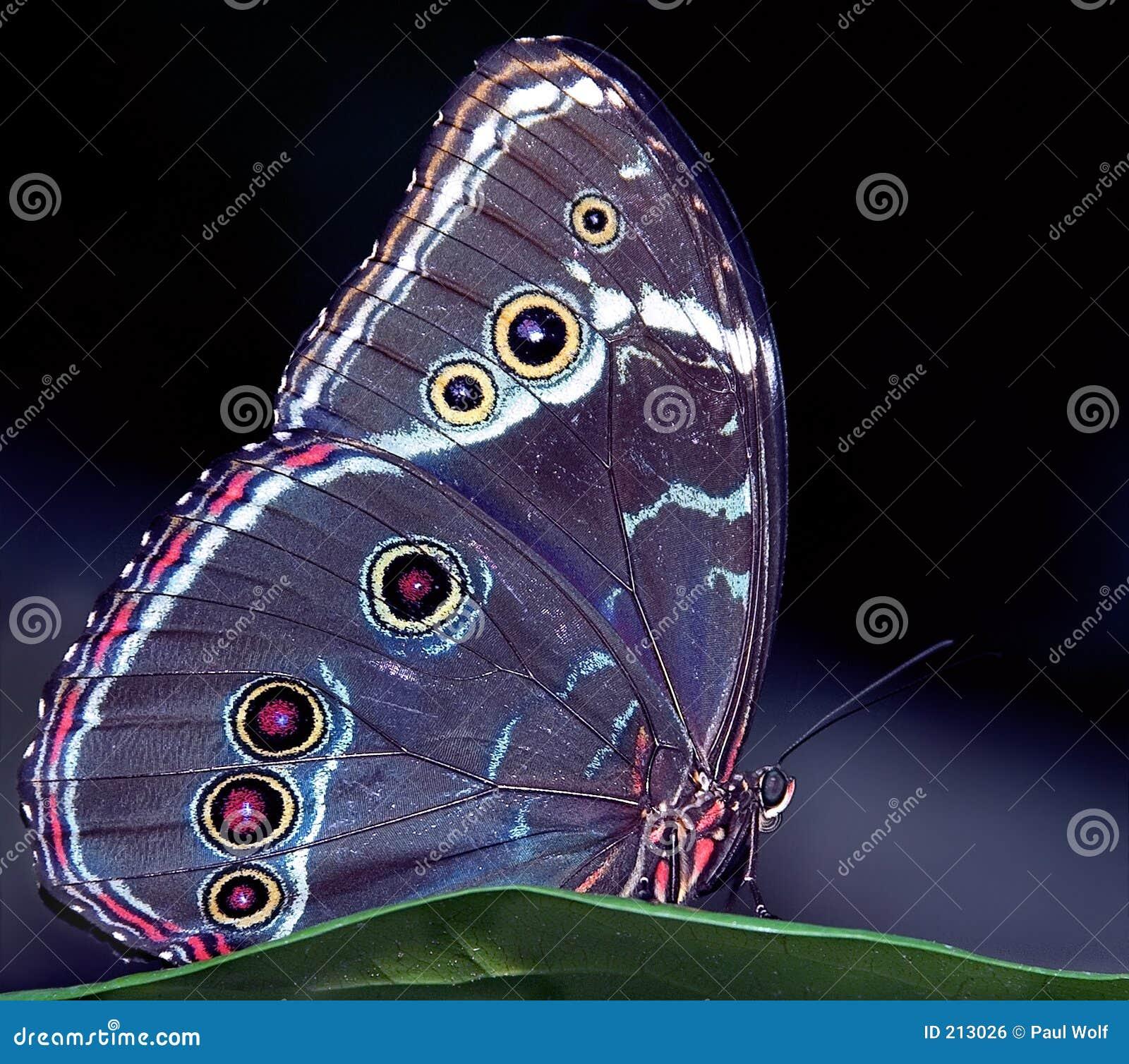 голубое morpho бабочки