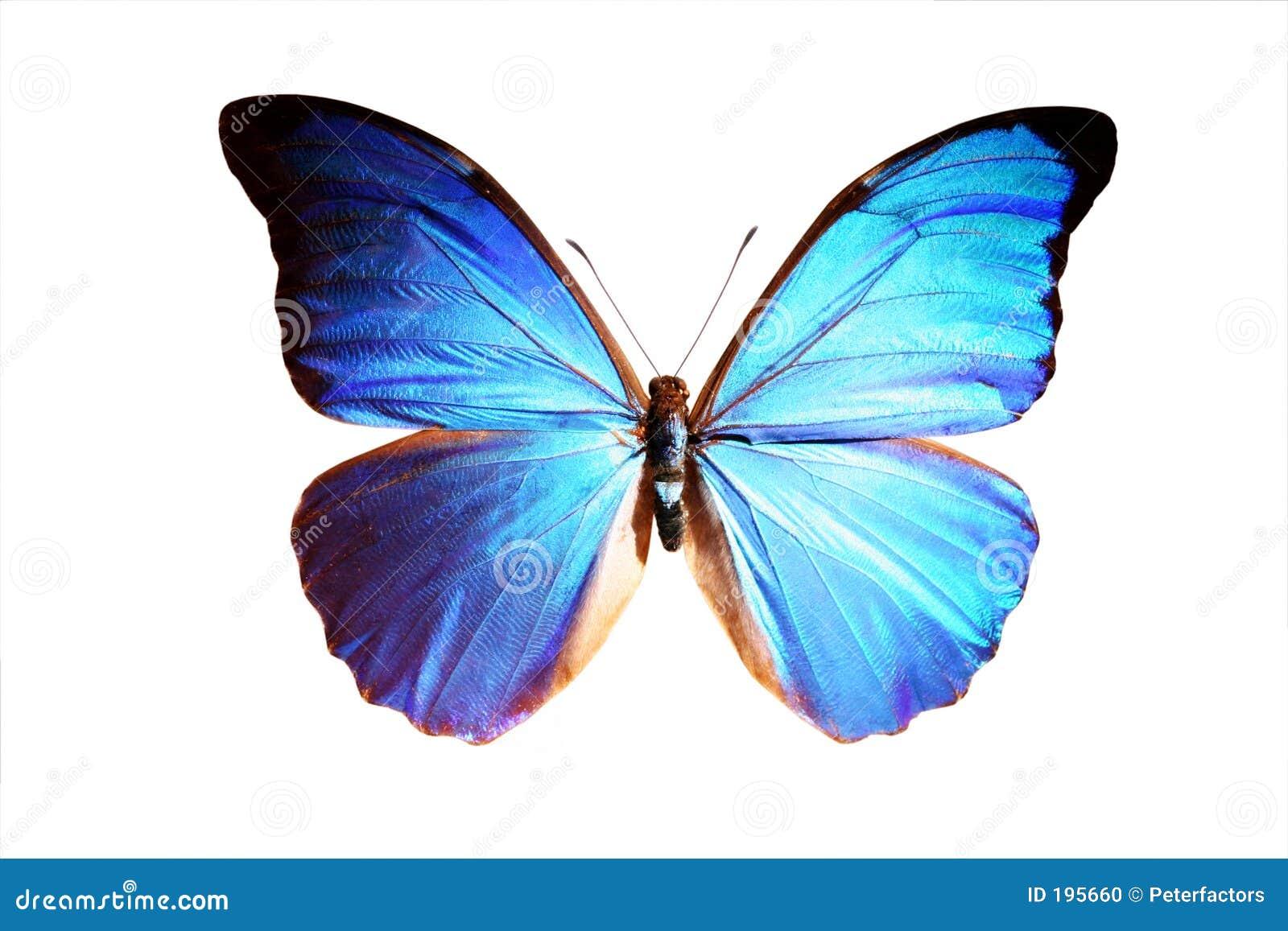 голубое morpho