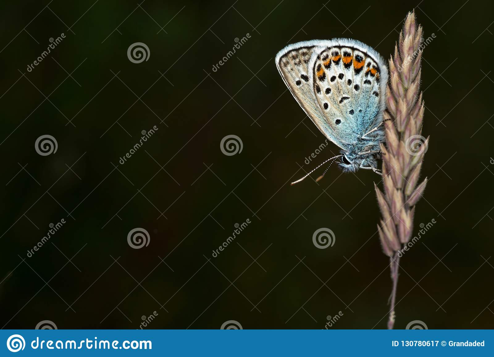 голубой обитый серебр бабочки