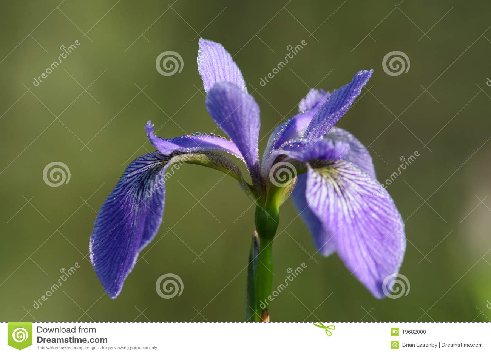 голубой флаг dewdrops