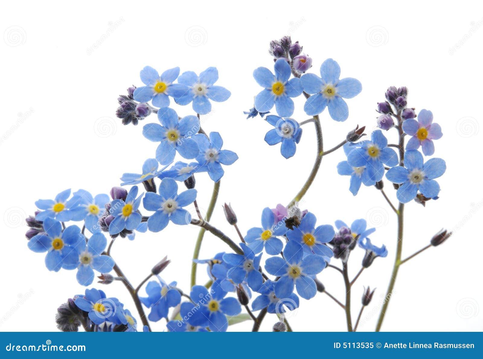 голубой цветок забывает меня не
