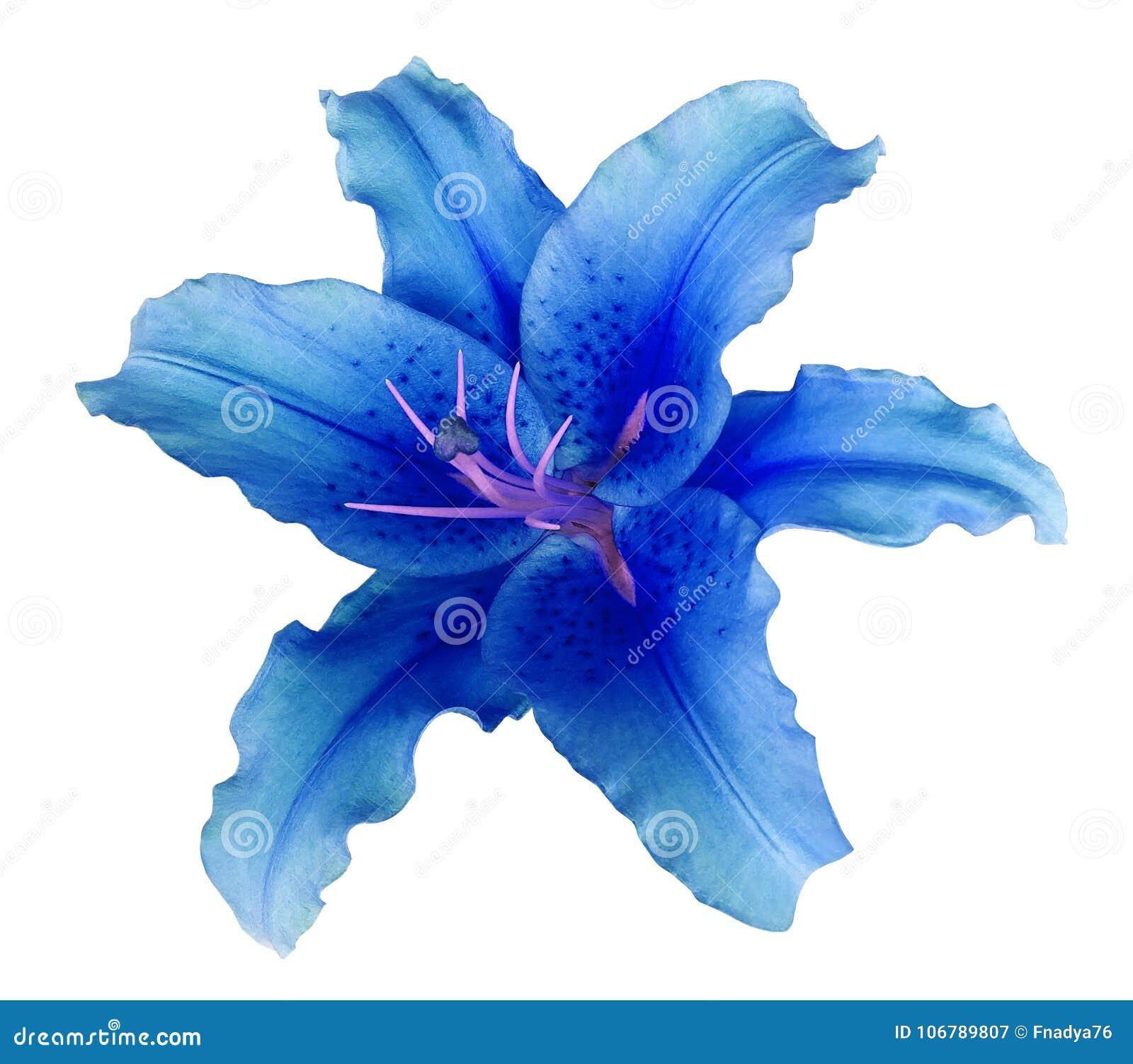Голубой цветок лилии на белизне изолировал предпосылку с путем клиппирования никакие тени Для дизайна, текстура, границы, рамка,
