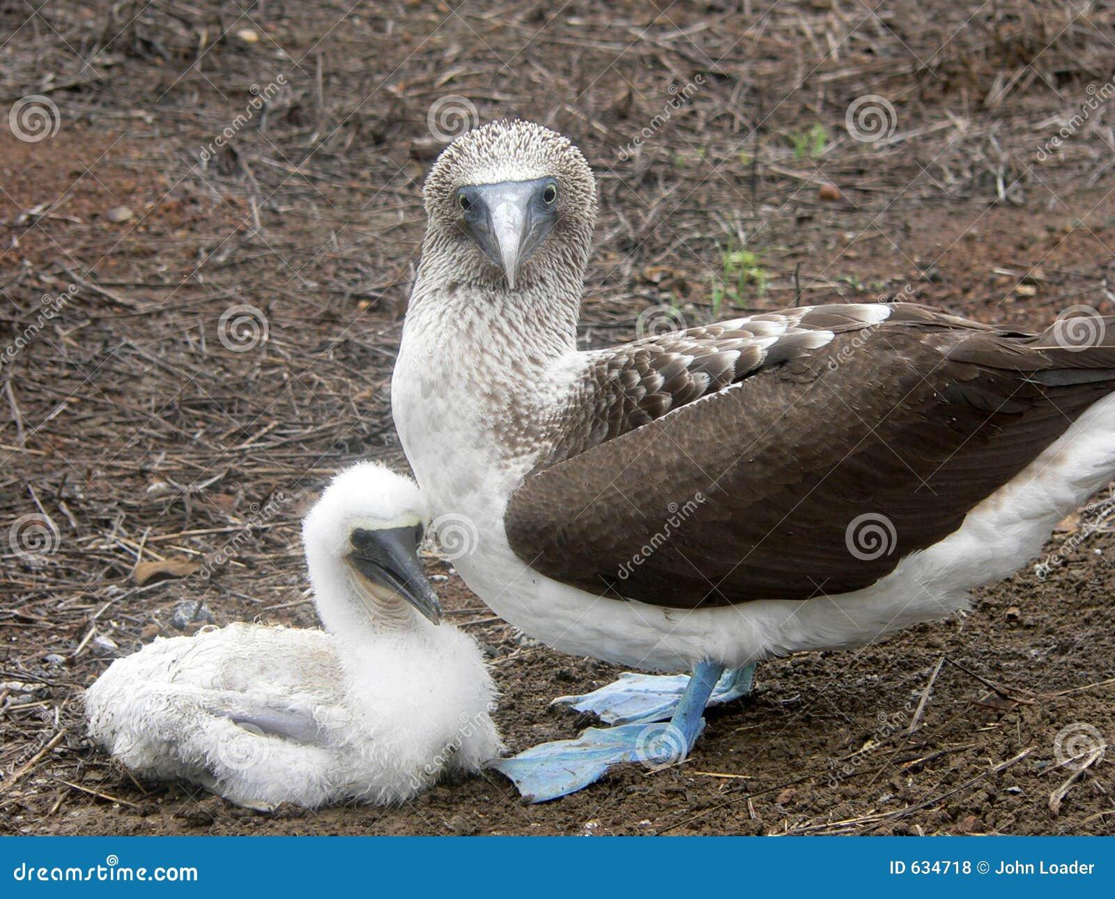 Download голубой цыпленок олуха Footed Стоковое Фото - изображение насчитывающей bluets, цыпленок: 634718