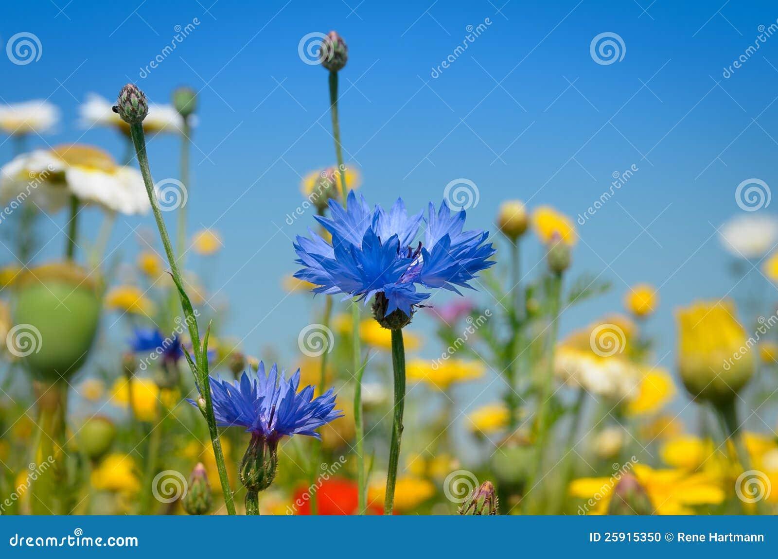 Голубой Cornflower