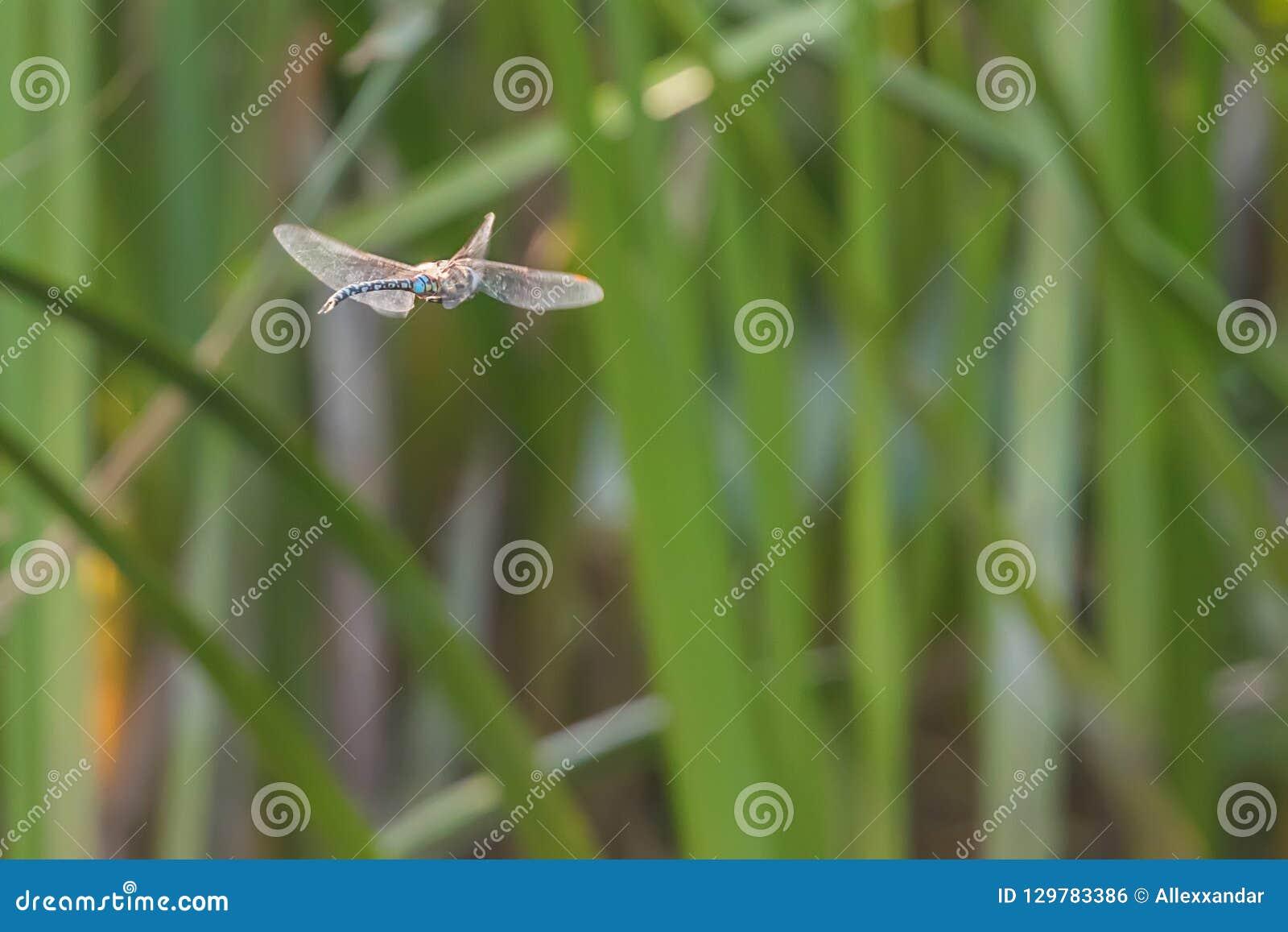 Голубой Dragonfly императора завиша в imperator Anax полета