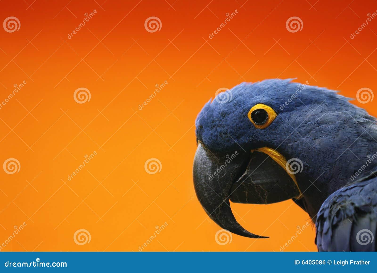 голубой macaw