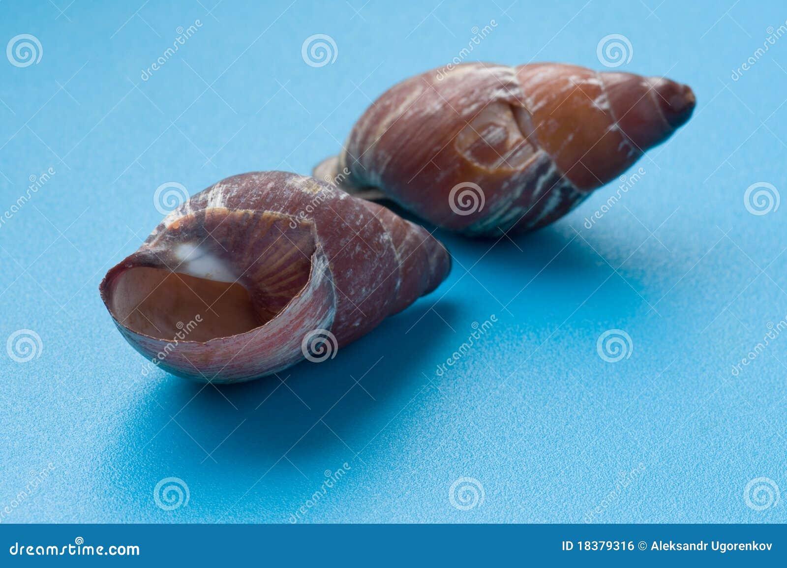 голубой seashell макроса