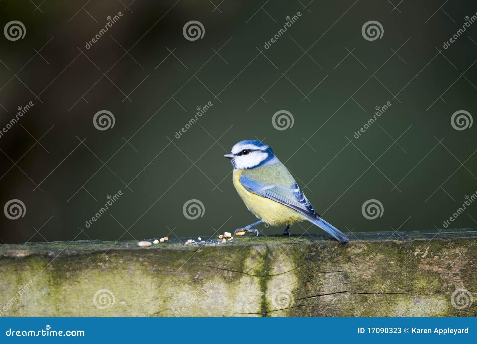 голубой tit parus caeruleus
