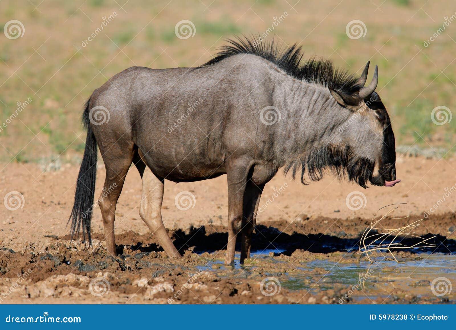 голубой wildebeest
