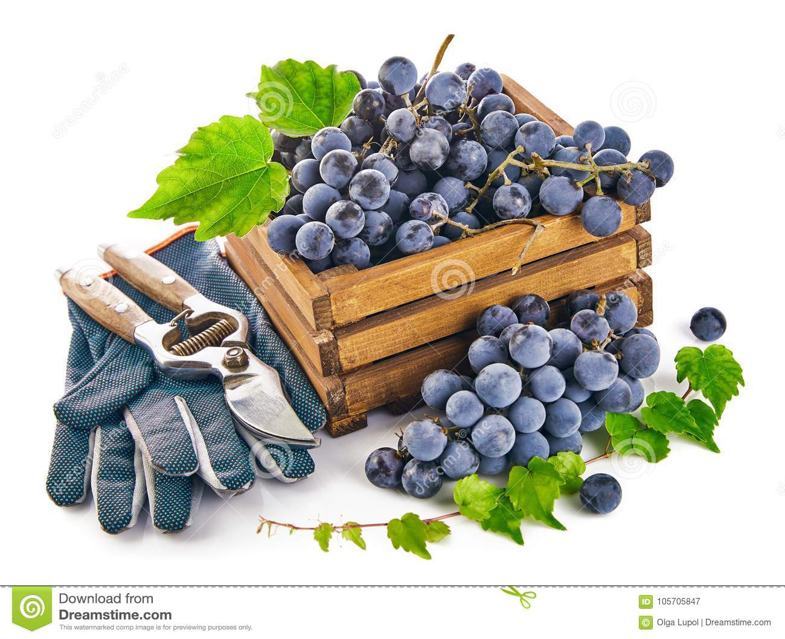 Голубые виноградины в деревянной коробке с перчаткой натюрморта pruner лозы зеленеют лист, на белой предпосылке