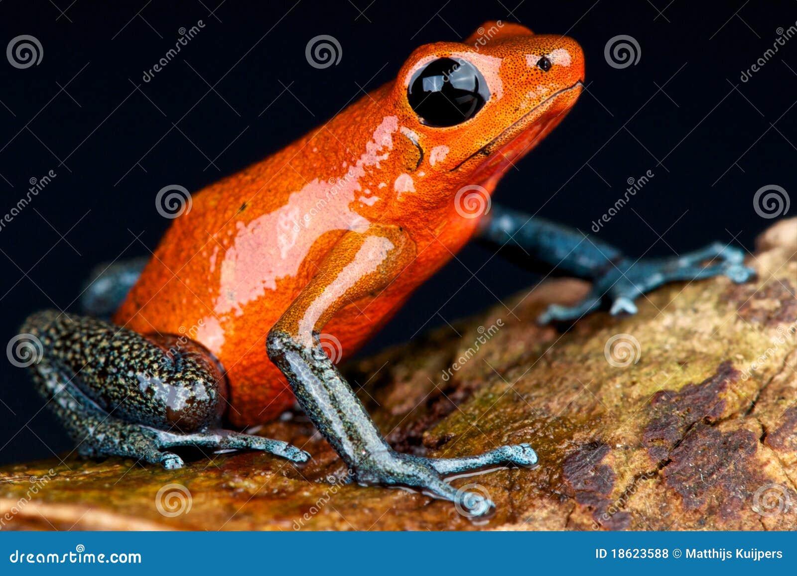 голубые джинсыы лягушки дротика